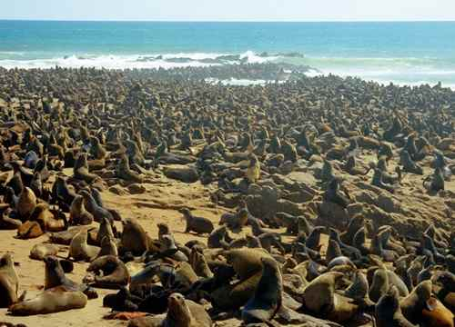 Cape Crosss Seal colony on the Namibian Atlantic coast